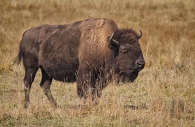 Roadside bison - Hayden Valley, Yellowstone National Park