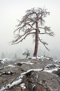 Pine trees in a storm, California side of Lake Tahoe