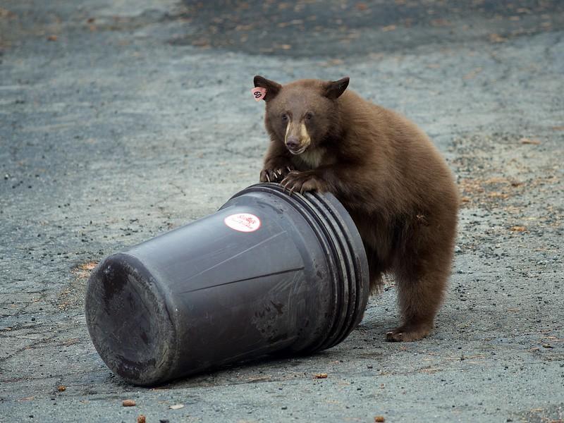 Bear Cubs, Lake Tahoe, NV.