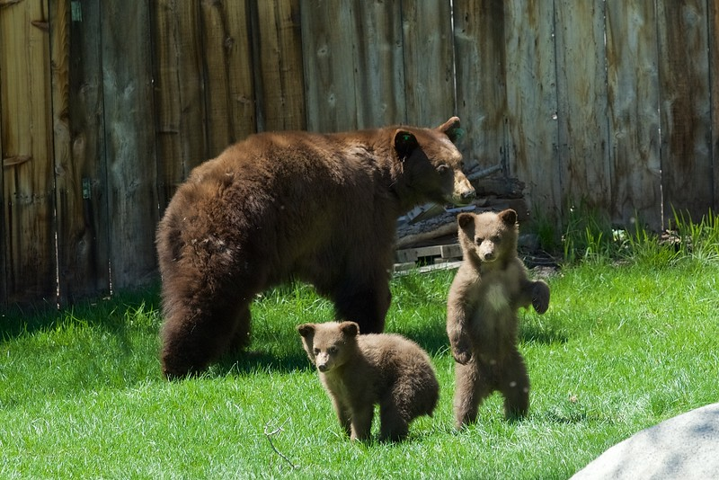 Bear Cubs, Lake Tahoe, NV.