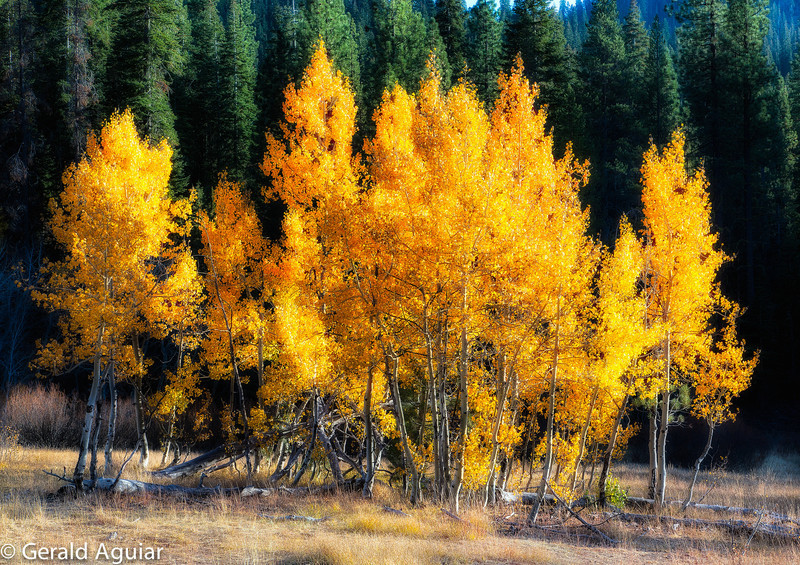 Aspens glowing in the afternoon sun near Northstar Ski Resort.