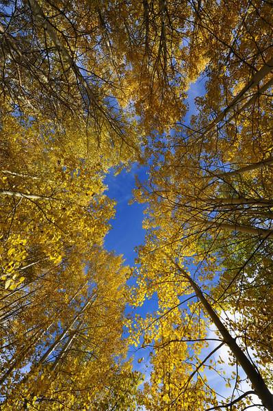 Aspen Grove, Kahle Meadow, Lake Tahoe, NV.