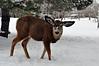 Mule Deer, Genoa, NV.