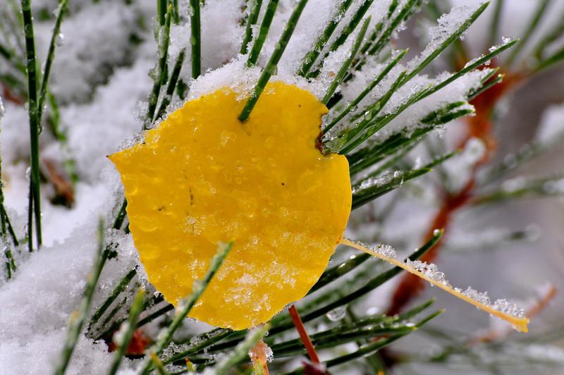 Aspen Leaf impaled on pine needle, Lake Tahoe, NV.