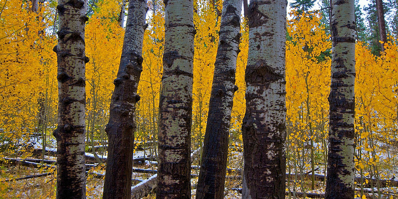 Aspens, Lake Tahoe, NV.