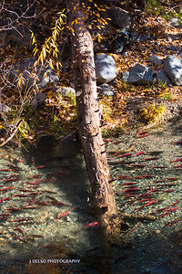 Salmon With Fall Color-3