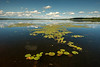 MNLR-13-81: Pond Lily's