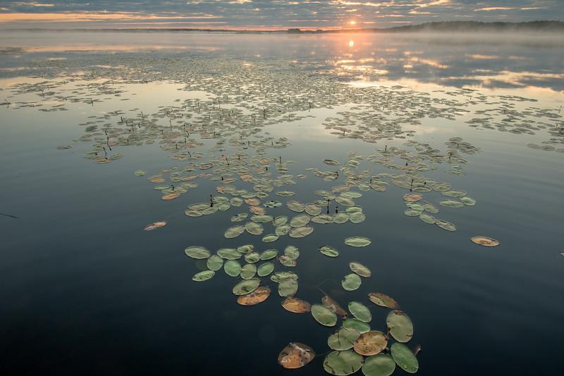 Pond Lily's