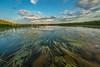 Wild Rice at Elk Lake