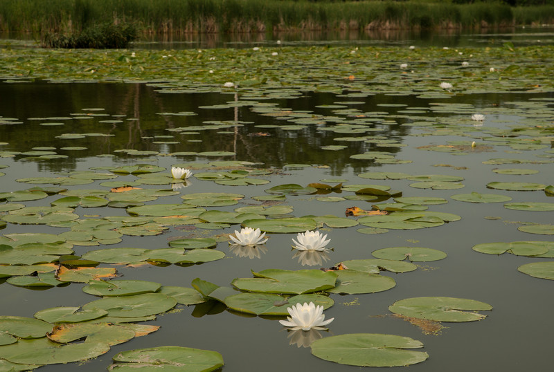White Water Lily's habitat