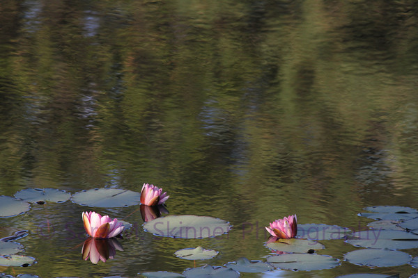Lily Reflection III