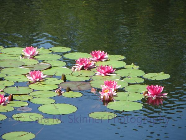 Lily Reflection I