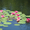Lily Reflection I