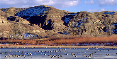Canada geese on a frozen, mid-winter pond in eastern Utah.