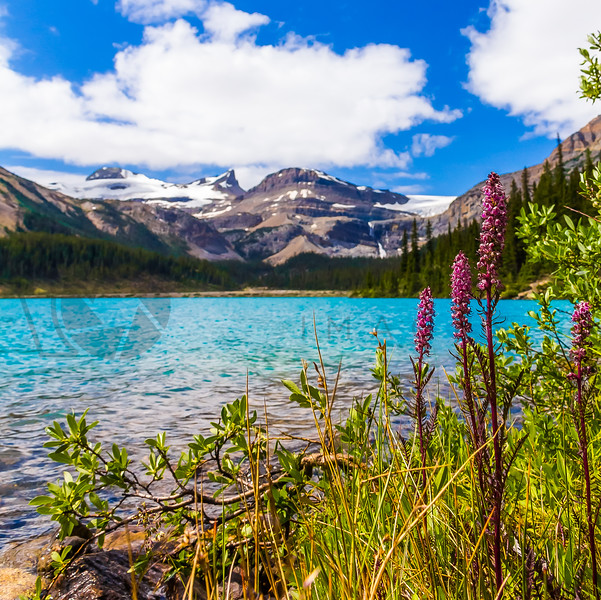 Wildflowers and Glaciers, Alberta, Canada