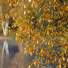 Looking through the fall foliage of Balsam Poplar to the reflection of the the Paper Birch trunks in Kelly Lake.