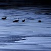 Geese on the Chattahoochie in the dark.