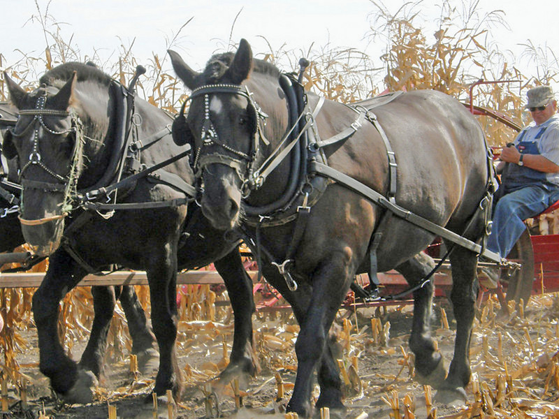 Old Ways<br /> This photo was taken at the Northern Minnesota Draft Horse Association Field Days in 2009?