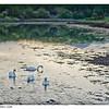 Swans at Sunset - Near Burrishule Abbey, Ireland