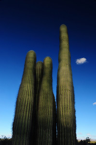 Arizona Saguaro Sky Reaching