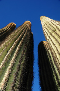 Arizona Saguaro Skyscrapers