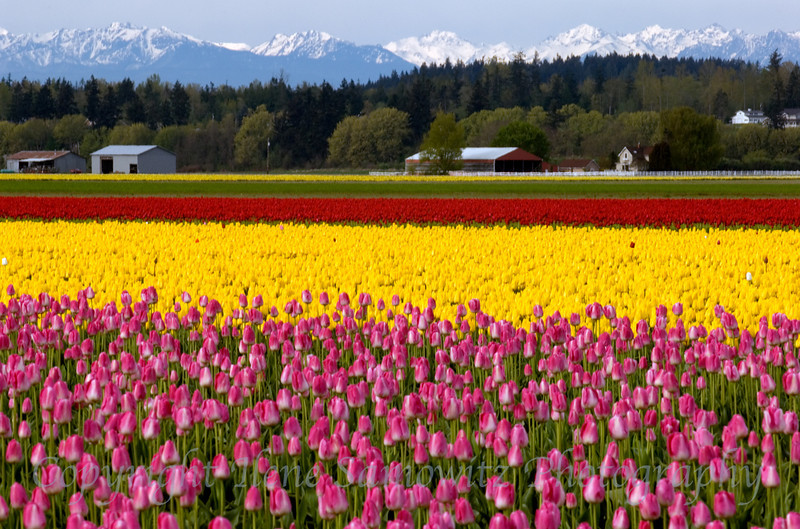 Skagit Valley Tulips, Washington