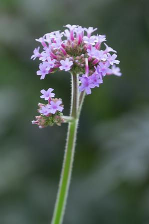Pretty Verbena (verbena bonariensis)