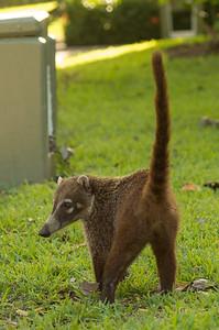 Costa Rica Coati
