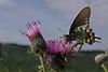 Swallowtail Butterfly and Thistle