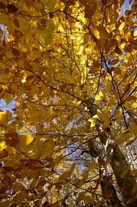 Big East Fork Poplar