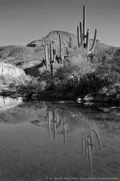 Saguaros and Salome Creek