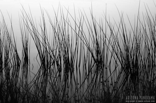 Cibola Reeds
