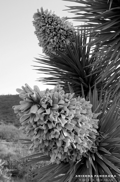 Joshua Tree Bloom