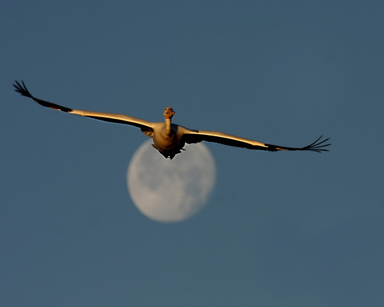Pelican over the Moon