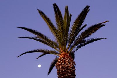 Moon setting as the sun was rising, seen through a Canary Island Date Palm. 1/13/2012