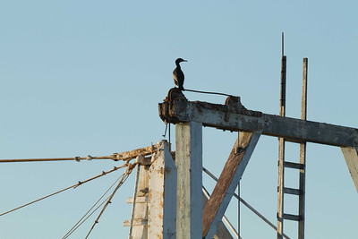 20130131-IMG_2849 South Bay Salt Works dredge which doubles in the off season as a resting spot and nesting area for cormorants like the one perched at the top in this photo
