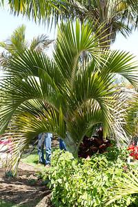 Hedyescepe Canteburyana palm native to Lord Howe Island