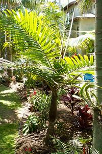 New Caledonia palm, Burretiokentia species