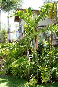 Madagascar clumping palm, Dypsis species, either Lanceolota or Pembana