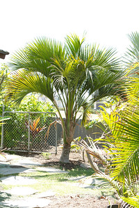 Kentia palm's less common cousin, the Howea Belmoreana.  A little slower grower than the Forsteriana, but worth the effort for its arching branches.