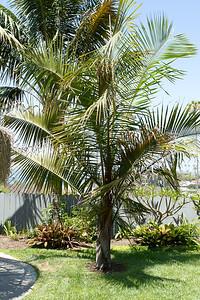 Madagascar hybid palm, Dypsis Decaryi x Leptocheilos (Triangle x Teddy Bear)