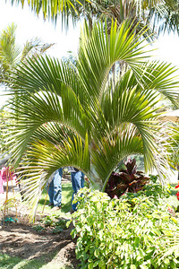 Another cousin to the Kentia palm, coming from Lord Howe Island in the South Pacific, a Hedyescepe Canteburyana.