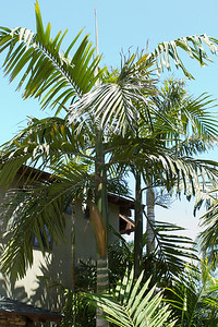 A pair of large Chambeyronia Macrocarpa, the flame thower palms, so named because of their red colored emergent leaves.   This species is native to New Caledonia