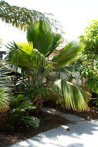Pritchardia Beccariana, Loulou palm