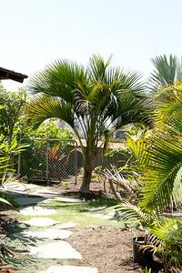 Howea Belmoreana palm of Lorde Howe Island