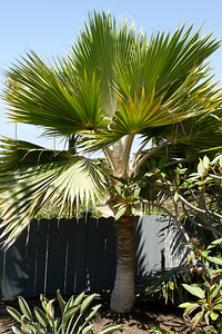 Another Loulou Palm, this time Pritchardia Hillebrandii