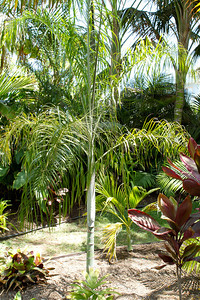 Dypsis species from New Caledonia