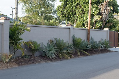 Aloes and Cycas thouarsii filling in along Ashbury