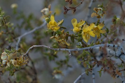 Desert wildflowers closeup 4/20/2015