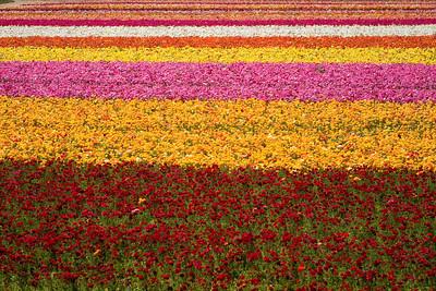 Carlsbad Flower Fields, Ranuculus 9/04/2009